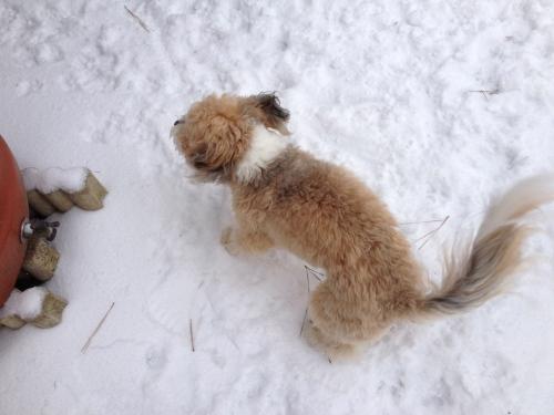 snow-lily